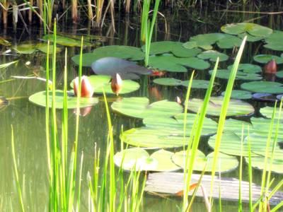 חבצלות המים סייןמוקטן
